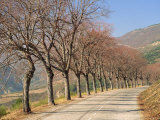 Bare Trees Line a Rural Road at Drome  Col De Perty in the Rhone Alpes  France  Europe