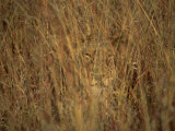 Portrait of a Lioness Hiding and Camouflaged in Long Grass  Kruger National Park  South Africa