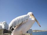Pelican  Chora  Mykonos  Cyclades  Greek Islands  Greece  Europe