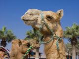 Camel  Sealine Beach Resort  Qatar  Middle East