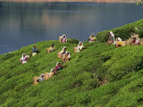 Women Tea Pickers on the Bunyan Estate Beside Lake Maskeliya in Sri Lanka
