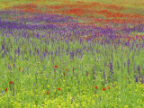Wild Flowers in a Spring Meadow Near Valdepenas  Castile La Mancha  Spain