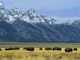 Bison and the Teton Range  Grand Teton National Park  Wyoming  USA