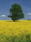 Single Tree in a Field of Oil Seed Rape in Flower Near Pontivy in Brittany  France  Europe