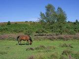Pony Grazing  New Forest  Hampshire  England  United Kingdom  Europe