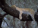 Close-Up of a Single Leopard  Asleep in a Tree  Kruger National Park  South Africa