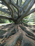 Trunk and Roots of a Tree in Domain Park  Auckland  North Island  New Zealand  Pacific