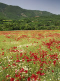 Wild Flowers Including Poppies in the Luberon Mountains  Vaucluse  Provence  France