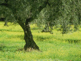 Landscape of Olive Tree and Wild Flowers Near Trujillo  in Extremadura  Spain  Europe