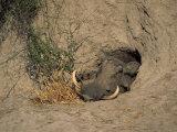Close-Up of the Head of a Warthog  in a Burrow  Okavango Delta  Botswana