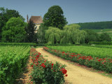 Roses and Vines in Vineyard Near Beaune  Cotes De Beaune  Burgundy  France  Europe