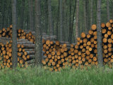 Piles of Logs in Woodland  Les Landes Forest in Aquitaine  France  Europe