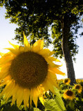 Field of Sunflowers in Full Bloom  Languedoc  France  Europe