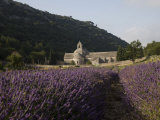Senanque Abbey and Lavender Field  Vaucluse  Provence  France  Europe