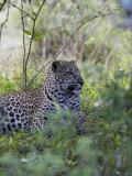 African Leopard  Masai Mara National Reserve  Kenya  East Africa  Africa