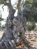 Olive Tree  Crete  Greek Islands  Greece  Europe