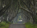 Tree Lined Road known as the Dark Hedges Near Stanocum  County Antrim  Ulster  Northern Ireland  UK