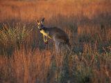 Close-Up of a Grey Kangaroo  Flinders Range  South Australia  Australia