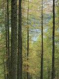 Lowes Water Through Trees  Holme Wood  Lake District  Cumbria  England  United Kingdom  Europe