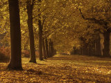 Lime Tree Avenue in Autumn Colours  Clumber Park  Worksop  Nottinghamshire  England  United Kingdom