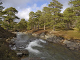 Scots Pine Forest and Lui Water  Deeside  Cairngorms National Park  Aberdeenshire  Scotland  UK