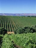 Vineyards  Oliverhill Wines  Mclaren Vale  South Australia  Australia  Pacific
