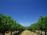 Vines  Maxwells Winery  Mclaren Vale  South Australia  Australia  Pacific