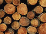 Close-Up of Cut Logs in a Timber Pile  Hassness Wood  Lake District  Cumbria  England  UK