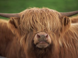 Close-Up of the Head of a Shaggy Highland Cow with Horns  Looking at the Camera  Scotland  UK