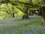 Bluebells in Carstramon Wood  Fleet Valley  Dumfries and Galloway  Scotland