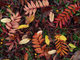 Overhead View of Fallen Rowan Leaves in Autumn Colours  Red and Gold