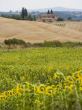 Field of Sunflowers in the Tuscan Landscape  Tuscany  Italy  Europe