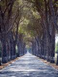 Tree-Lined Road  Maremma  Tuscany  Italy  Europe