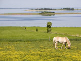 Horses  Aero Island  Funen  Denmark  Scandinavia  Europe