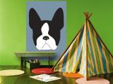 Blue Boston Terrier