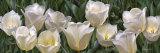 Eleven White Tulips