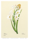White Tuberose  c1833