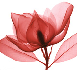 Red Magnolia I