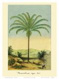 Maximiliana Palm Tree  Botanical Illustration  c1854