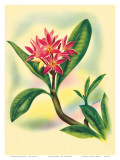 Pink Plumeria  from In An Old Hawaiian Garden c1947