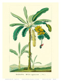 Banana Tree  Botanical Illustration  c1855