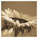 Sepia Sunflower II