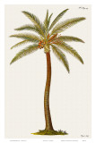 Coconut Palm Tree  18th Century