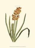 Antique Hyacinth VIII