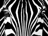 Black &amp; White I (Zebra)