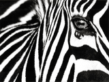 Black &amp; White II (Zebra)