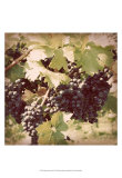 Vintage Grape Vines II