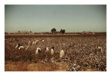 African American Day Laborers Picking Cotton Near Clarksdale  Mississippi  November 1939