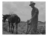 Son of Sharecropper Family at Work Cultivating a Cotton Field  Chesnee  South Carolina  June 1937