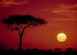 Wild Beast Migration  Masai Mara  Kenya
